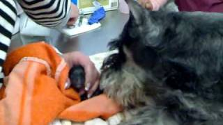 Miniature Schnauzer Giving Birth To Cute Puppy