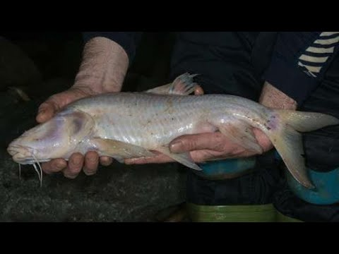 World Largest Cave Fish Found : In North India