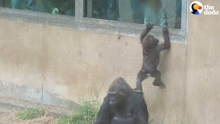 Baby Gorilla Just Wants To Get Out Of This Zoo