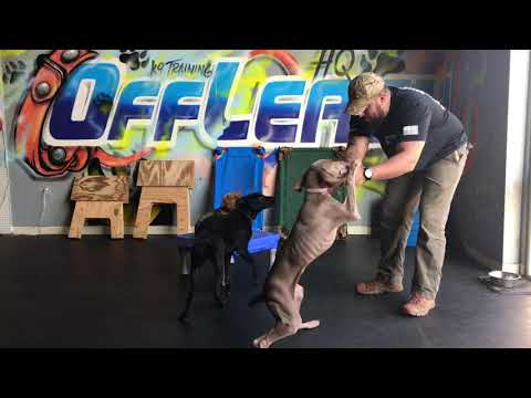 Silky Terrier, Scout! Silky Terrier Off Leash Training | Small Dog and Big Obedience!