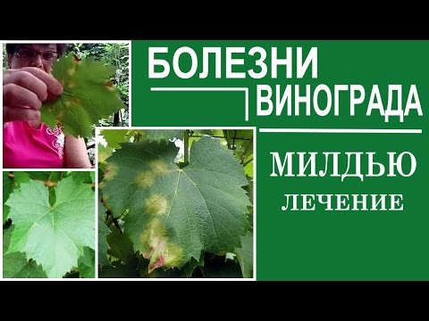 Болезни винограда. Милдью . Как спасти виноград