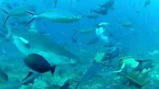 Liquid İmage Hydra Diving With Sharks In Fiji