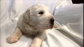 グレートピレニーズ専門店 http://aidol-doggy.com/pyre/ ブリーダーの...