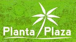 Planta Plaza - Der Onlineshop für Zimmerpflanzen und Mediterrane Pflanzen.  Olivenbäume und Palmen.