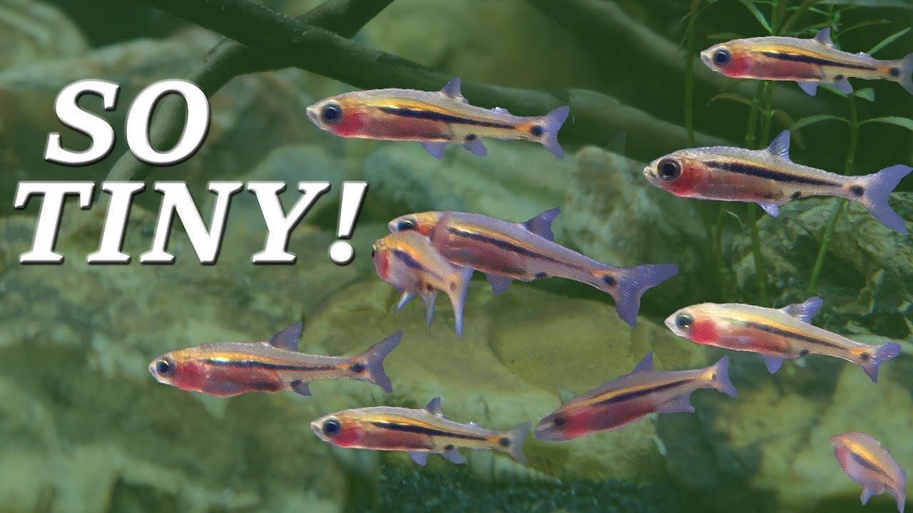 chili rasbora fish - 1280×720