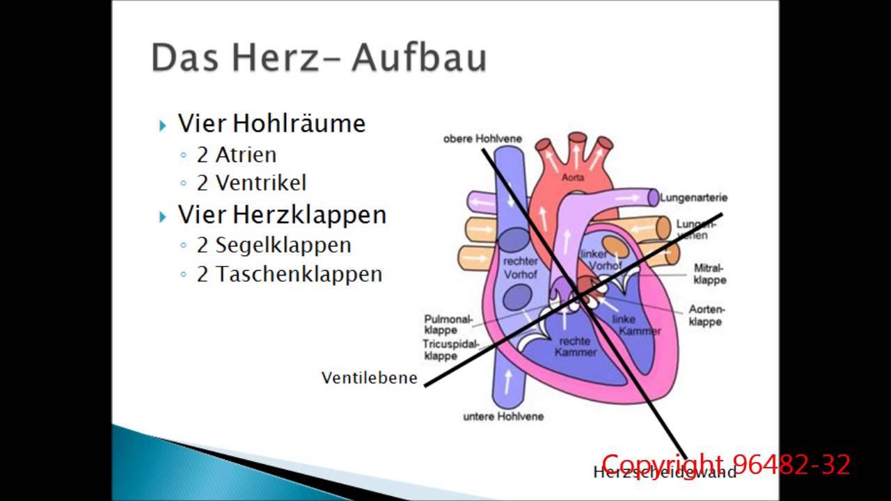 Groß Bild Von Herz Kreislauf System Bilder - Physiologie Von ...