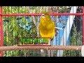 Serem Abis Suara Burung Kenari Ini Bikin Yang Jadi Ikut Gacor  Mp3 - Mp4 Download