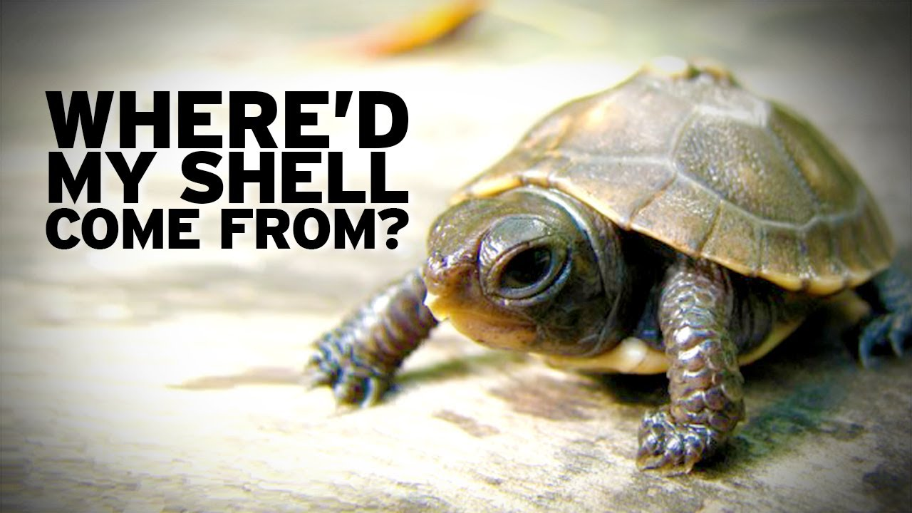 how turtle shells evolved youtube