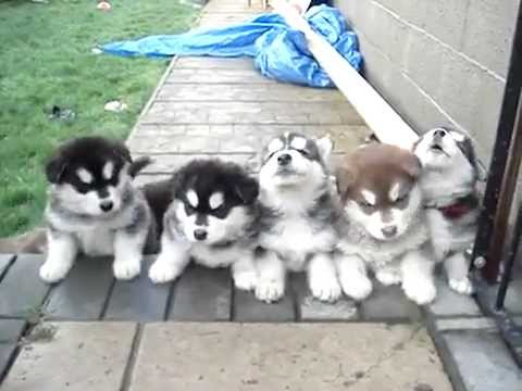Husky Puppies Howling Youtube