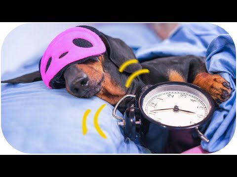 Dog morning routine! Funny dachshund video!