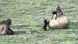 Gelada Baboons - pawiany dżelada
