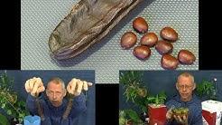 Johannisbrot Baum die Schoten und Samen. Die Vorbereitung der Samen und die Pflanzen einpflanzen