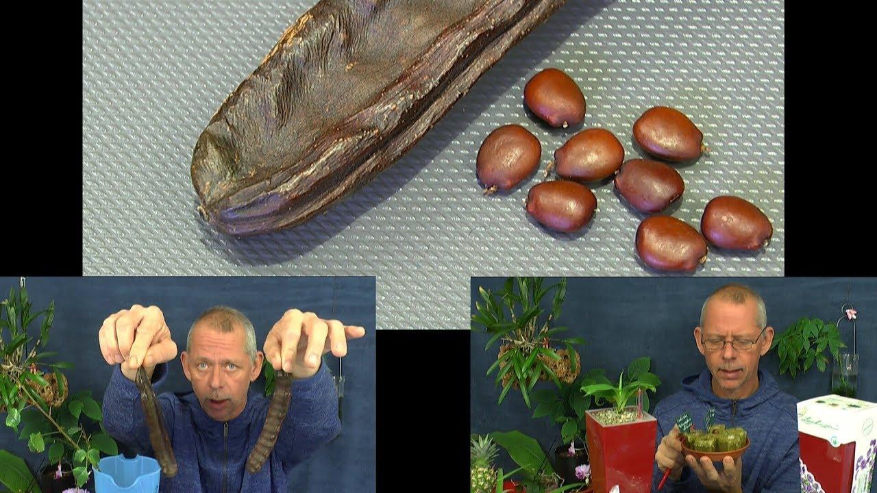 Berühmt Johannisbrot Baum die Schoten und Samen. Die Vorbereitung der &PC_49