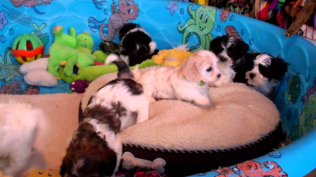 Shichon puppies for sale in kentucky - Cavachon And Shichon Puppies For Sale In Central Pennsylvania