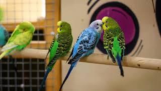 Цены на самые распостраненные  виды попугаев