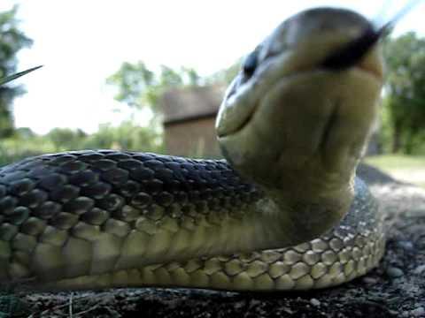Bjelica ili Eskulapova zmija (Elaphe longissima ili Zamenis longissimus).wmv