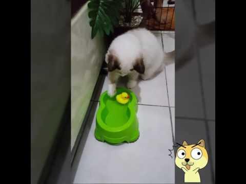 Bebek Ngambang dan Kucing