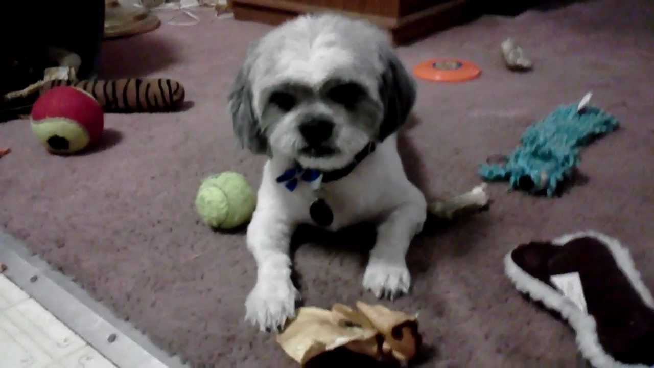 Shih Tzu Blanchie Summer Haircut Youtube