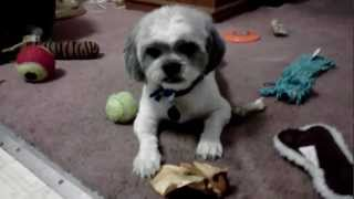 Shih Tzu Blanchie Summer Haircut!
