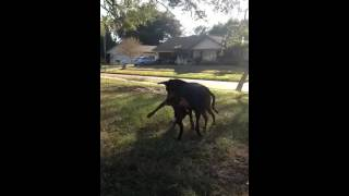 Illegal dog fight Doberman vs pit bull