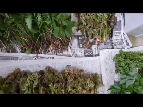 山菜 収穫