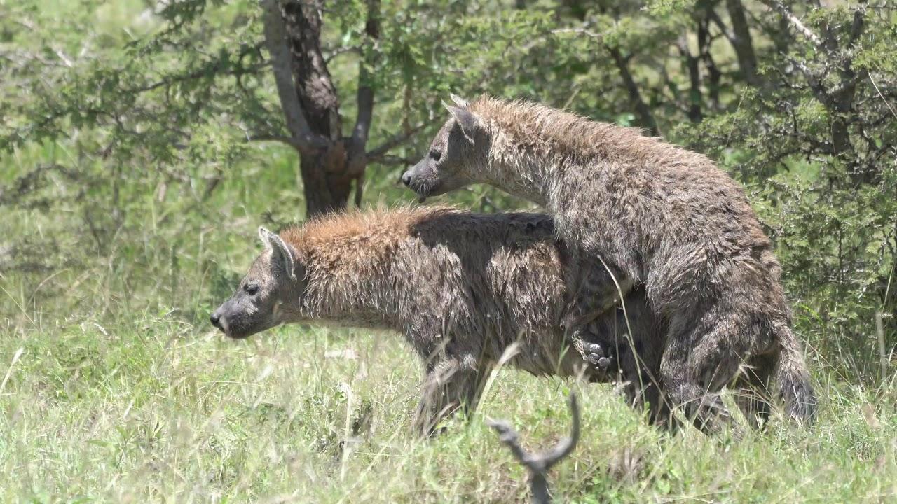 Mating hyenas - YouTube