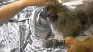 Santos The Border/cairn Terrier Mix