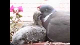 Wood Pigeon Father Feeds His 11-day-old Baby Squab - Constant Feeds Hope