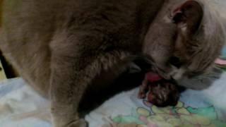 Роды. Шотландские котята. Вислоухие, прямоухие. Лиловый окрас.