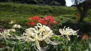 神奈川県藤沢市にある小出川の彼岸花(ヒガンバナ)曼珠沙華 ブログはこ...