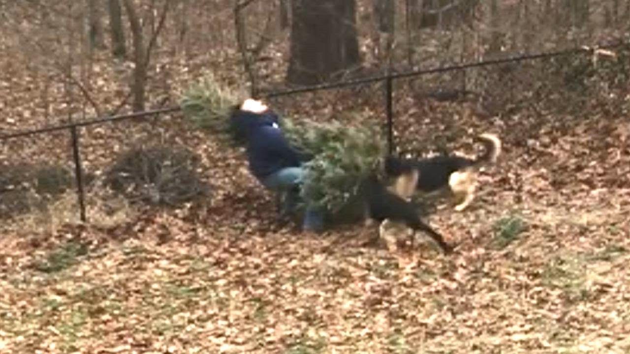 dogs wont let owner throw out familys christmas tree