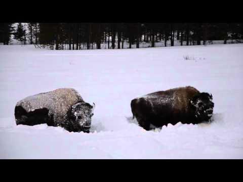 Wintertime in Yellowstone