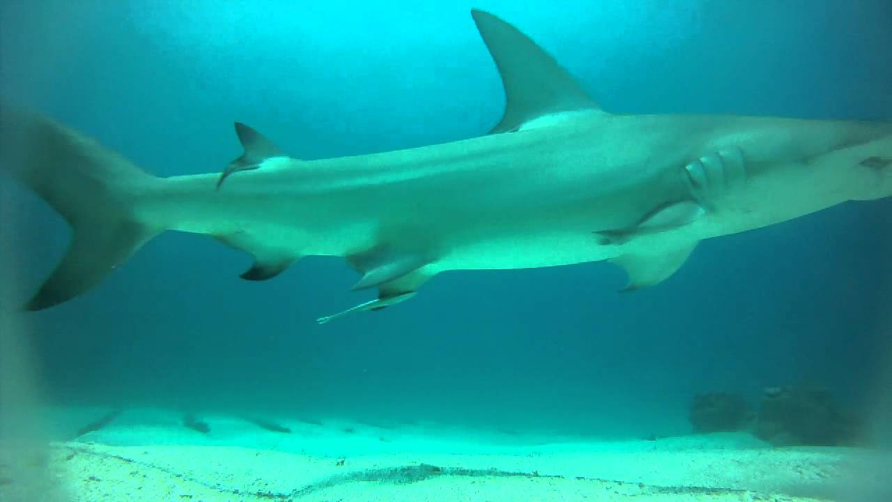 hammerhead sharks little corn
