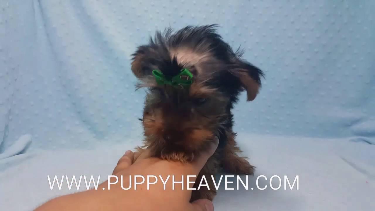 Akc Toy Yorkie Puppies Youtube