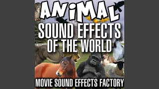Chicken Sound Effects