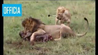 Самое Удивительное Нападения Дикого Животного Льва Анаконда Леопарды Гиены Буйв