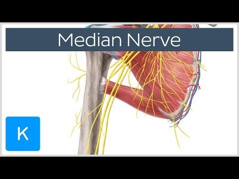 Median Nerve - Course, Distribution & Branches - Human Anatomy |Kenhub