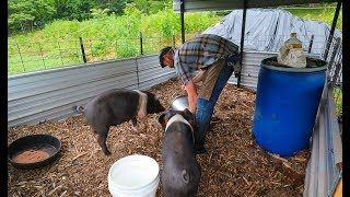 simple-pin-makes-back-yard-pigs-possible-and-pleasurable