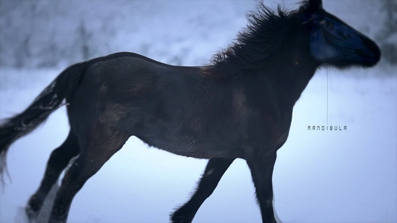 Wild horses black horse running in snow cheval de merens mare runs