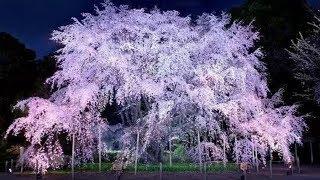"""Цветущая сакура и полнолуние. """"ХАНАМИ"""" праздник цветущей сакуры. Tokyo Spring Sakura (HD)"""