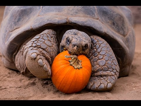 Thumbnail: Halloween Party For Galápagos Tortoise Seniors