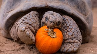 Halloween Party For Galápagos Tortoise Seniors