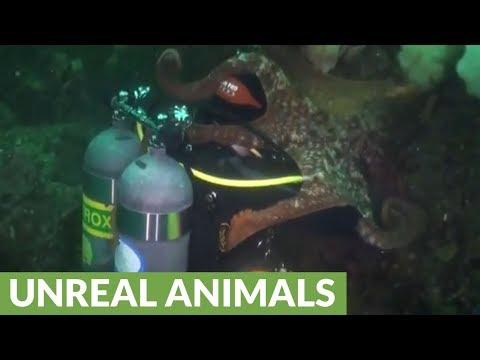 AJ - Giant Octopus Engulfs a Diver