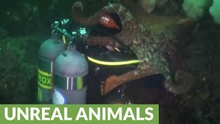 Giant Pacific Octopus totally engulfs scuba diver