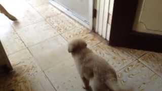 6 Week Old Confident German Shepherd/golden Retriever Mix Puppy(dumaguete)