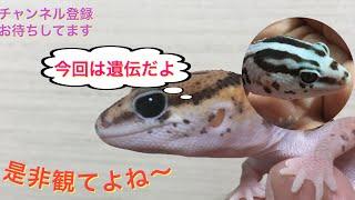 STAGE110回目2019年ワールドエキゾチックブリーディング【遺伝について】 thumbnail