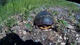 Черепаха на американской дороге. Черепахи в США. Спасение черепахи в Америке.