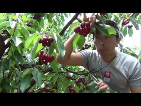 Cherries Picking 2012 (FULL HD 1080p) Đi hái Cherry ở Úc Châu 2012
