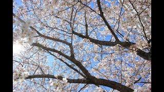 プラターズが歌った「オンリー・ユー」三郷市の桜並木の動画とコラボし...