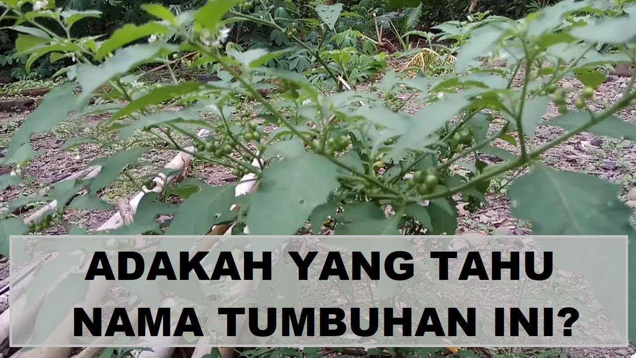Adakah Yang Tahu Nama Tumbuhan Yang Buahnya Seperti Leunca Ini Youtube